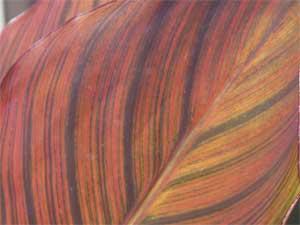 canna leaf