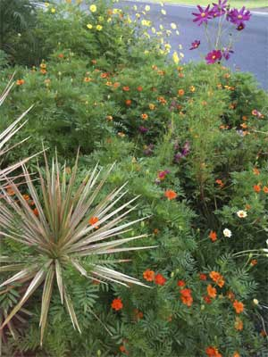 cosmos and marigolds